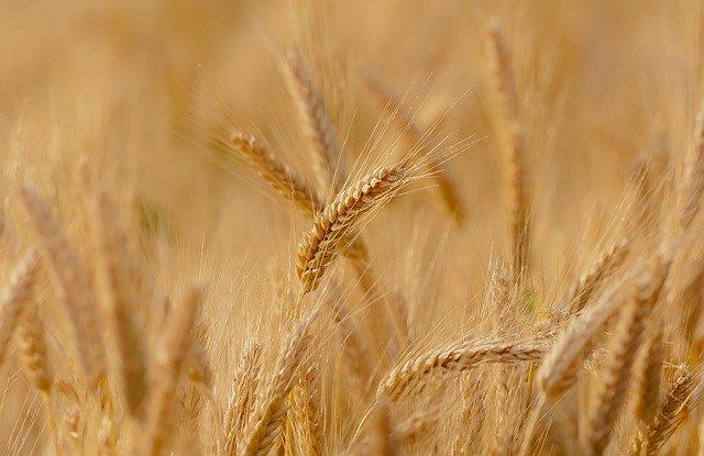 wheat 3241114 640